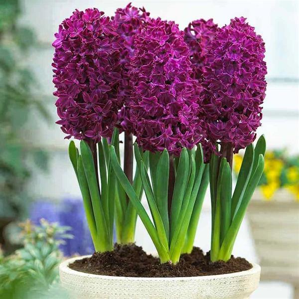 Самі красиві кімнатні рослини в світі  опис bd9f1071e40b4